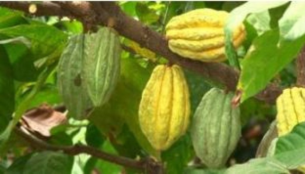 Is-Mercedes-Cocoa-the-key-to-economic-recovery-in-Côte-dIvoire